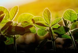 Semente de soja com alto poder de vigor e germinação garante o sucesso e ótimos resultados para a lavoura